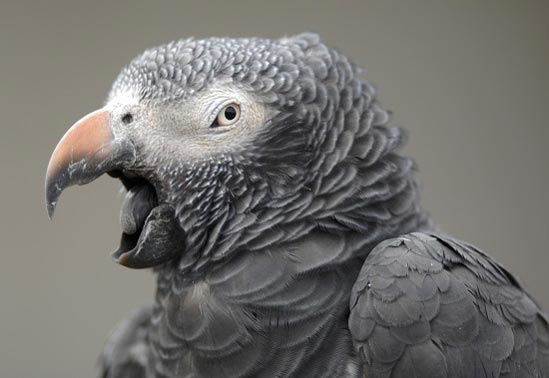 blog african grey day image1550w
