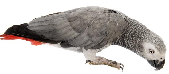 blog african grey day image2550w