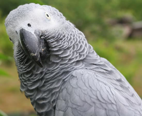 blog african grey day image5550w