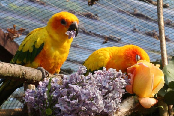 There S Nothing That You Can Grow The Parrots Won T Like Almost None Of My Birds Eat Tomatoes As This Is A South American Fruit