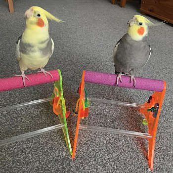 Sanded Nail Trimming Tabletop Parrot Stand - Medium